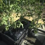 Planterne flytter ind