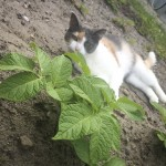 Tigertulle og kartoffelplanten...