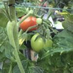 En enkelt tomat skifter så småt farve til rød